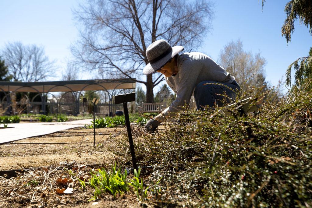 Horticulturalist Loddie Dolinski at work in the Denver Botanic Gardens, April 7, 2020. (Kevin J. Beaty/Denverite)