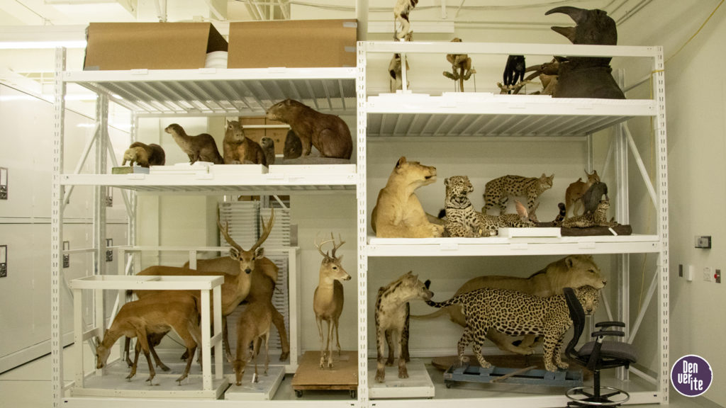 Taxidermied animals inside the Denver Museum of Nature and Science's basement collections storage, June 12, 2019. (Kevin J. Beaty/Denverite)