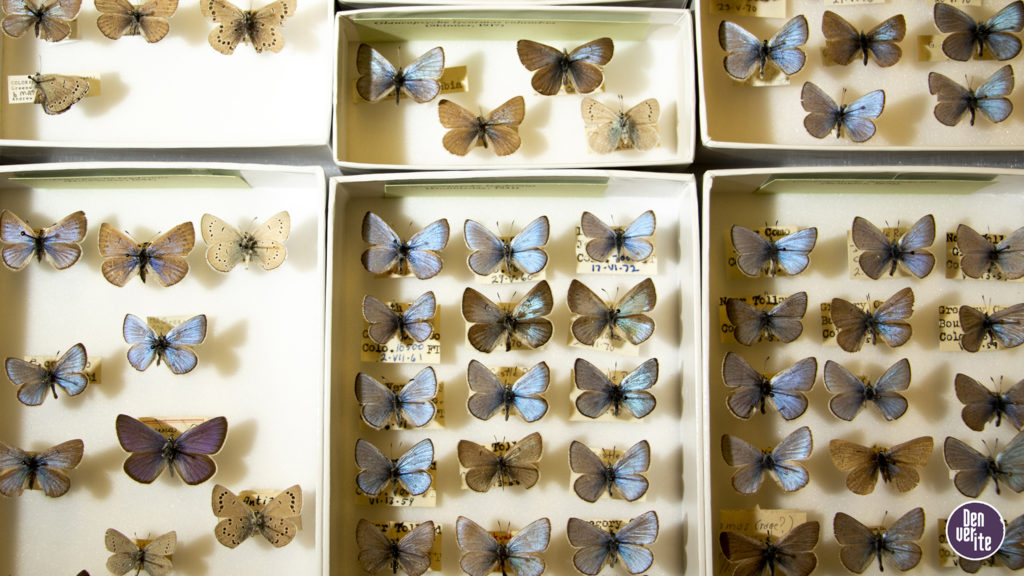 Pinned butterflies inside the Denver Museum of Nature and Science's basement collections storage, June 12, 2019. (Kevin J. Beaty/Denverite)