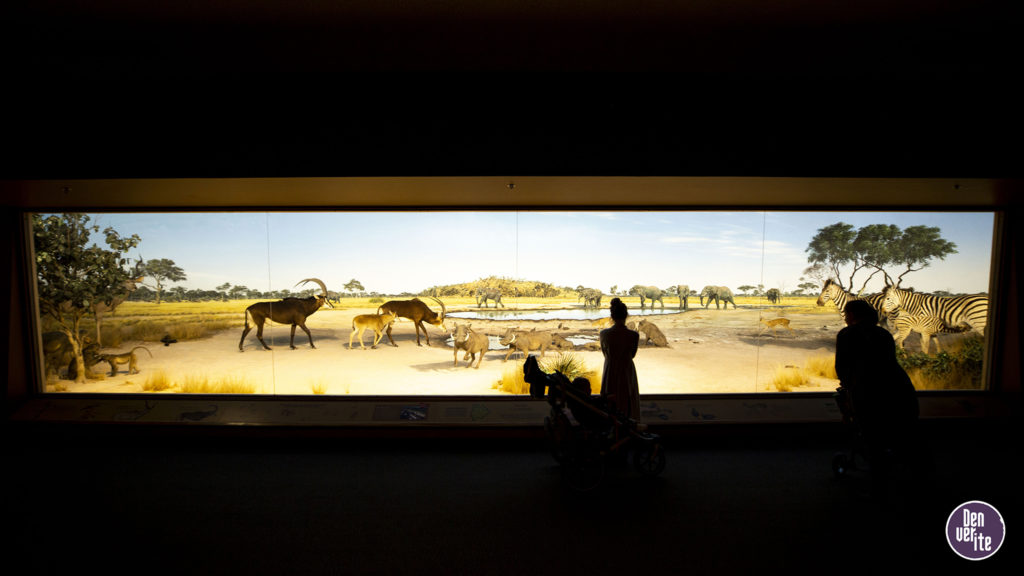 A diorama inside the Botswana hall at the Denver Museum of Nature and Science. Oct. 22, 2019. (Kevin J. Beaty/Denverite)