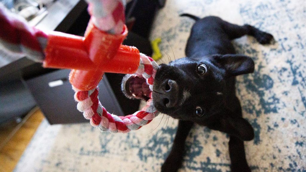 A puppy named Machiavelli bares his little gremlin teeth. April 22, 2020. (Kevin J. Beaty/Denverite)