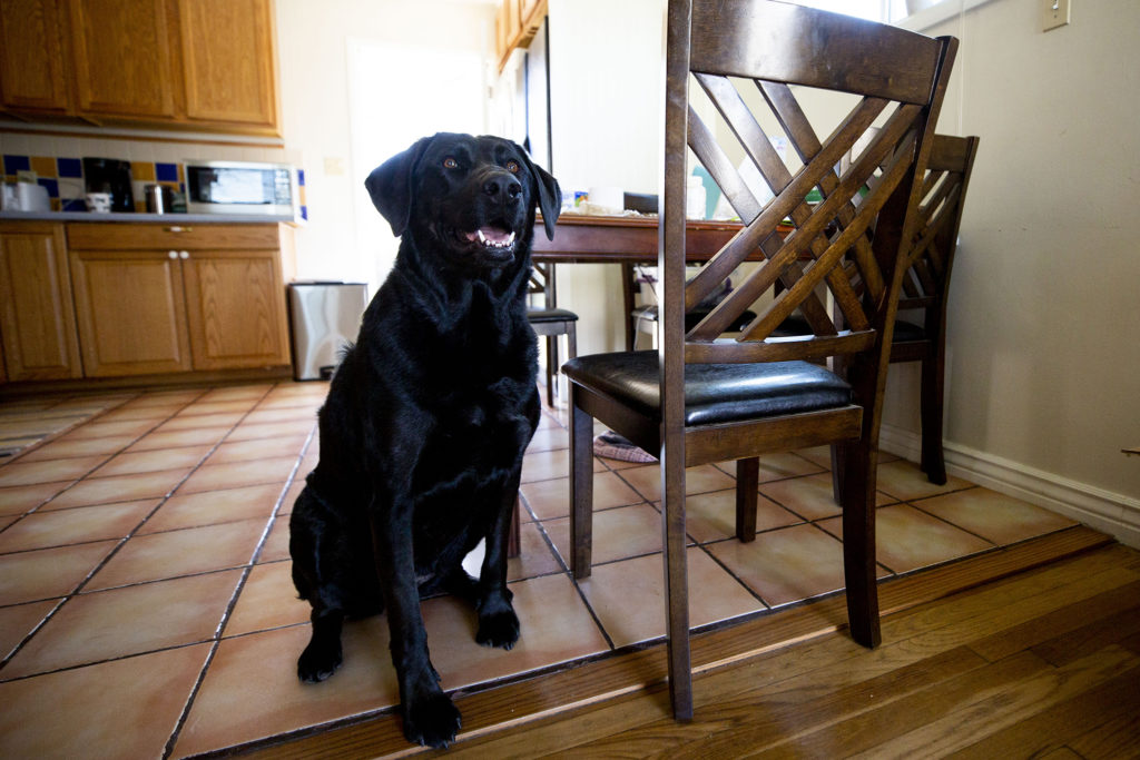 Riley, a very good research assistant, poses for a portrait in Natalie Toth's home. April 27, 2020. (Kevin J. Beaty/Denverite)
