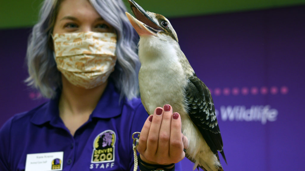 The call of Adelaide the kookaburra lasts nearly a full minute. She came to the zoo as a hatchling 16 years ago. Zookeeper Katie Krantz holds her. April 19, 2020. (Sonya Doctorian for Denverite)