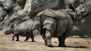 """The 2-month old Indian rhinoceros calf was named Joona this week by online voters who donated a dollar per vote to the Denver Zoo. """"Joona,"""" which means """"joyful"""" or """"treasure"""" in Nepalese culture, won handily. The naming contest raised $39,000. As promised, the zoo will donate $5,000 to the International Rhino Foundation to help rhinos in the wild. April 19, 2020. (Sonya Doctorian for Denverite)"""