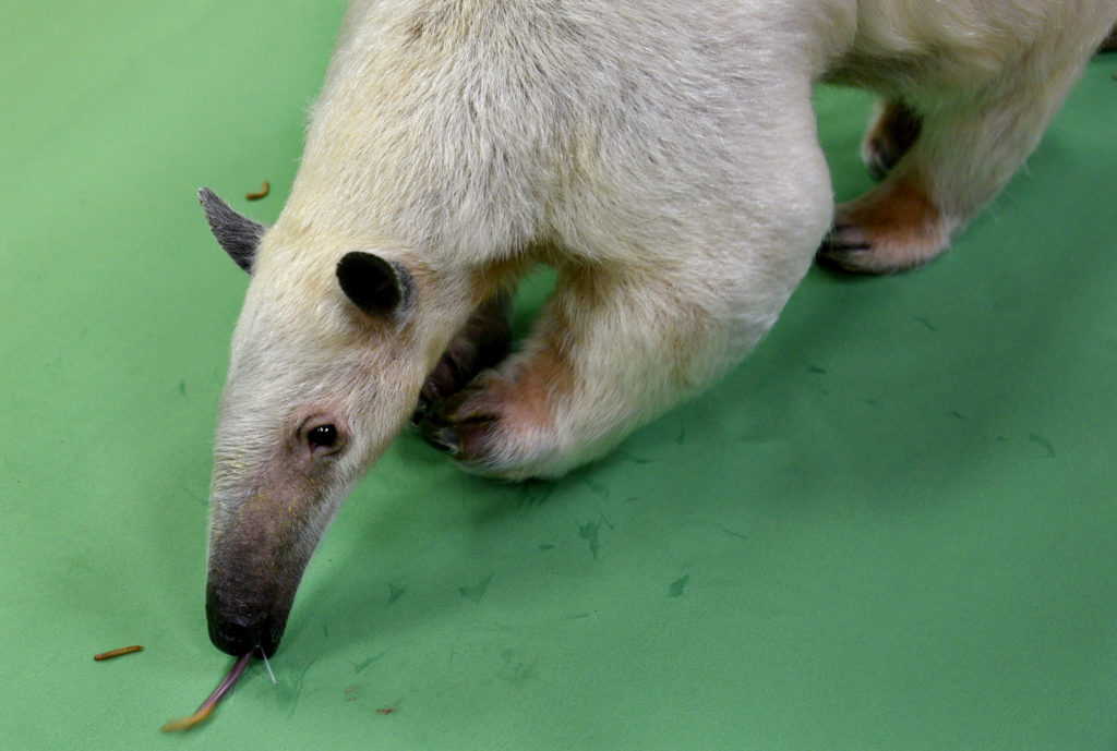 Rio the tamandua, a type of ant-eater, licks up mealworms. Tamandua tongues can be as long as 16 inches. Rio can easily down 10,000 ants in a single meal. April 19, 2020. (Sonya Doctorian for Denverite)