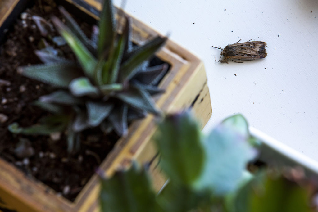 I found this dead miller moth in my house. May 20, 2020. (Kevin J. Beaty/Denverite)