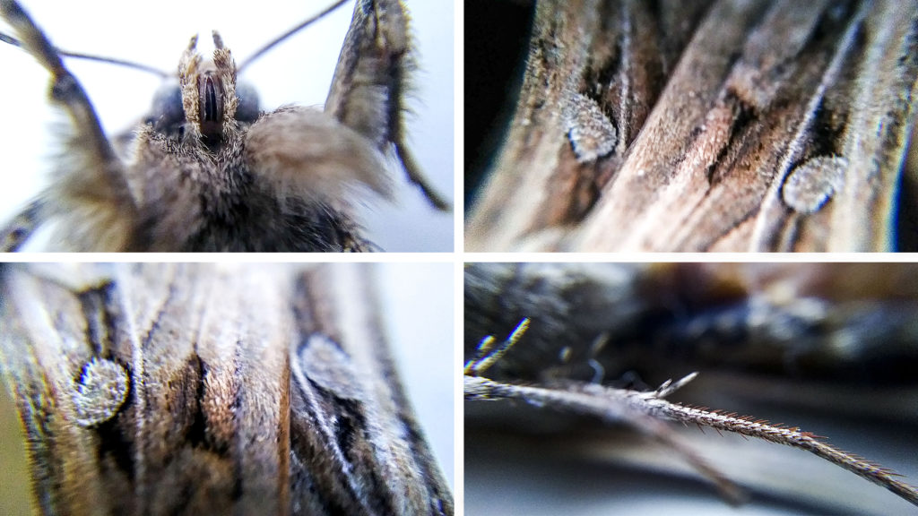 Details of a dead miller moth. May 20, 2020. (Kevin J. Beaty/Denverite)