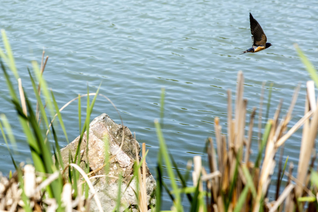A swallow swoops over Smith Lake in Washington Park. May 21, 2020. (Kevin J. Beaty/Denverite)