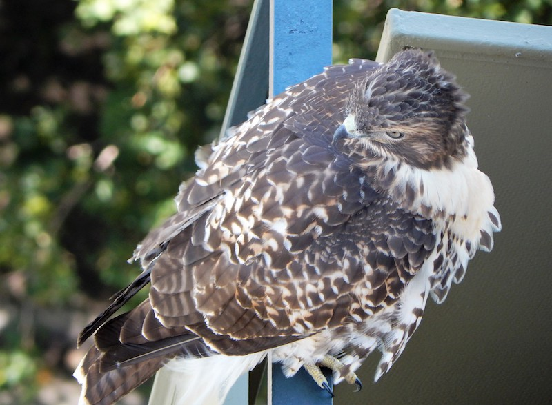 A hawk on a balcony in Cheesman Park. (Photo Courtesy of Michael Corrigan Lavallee)