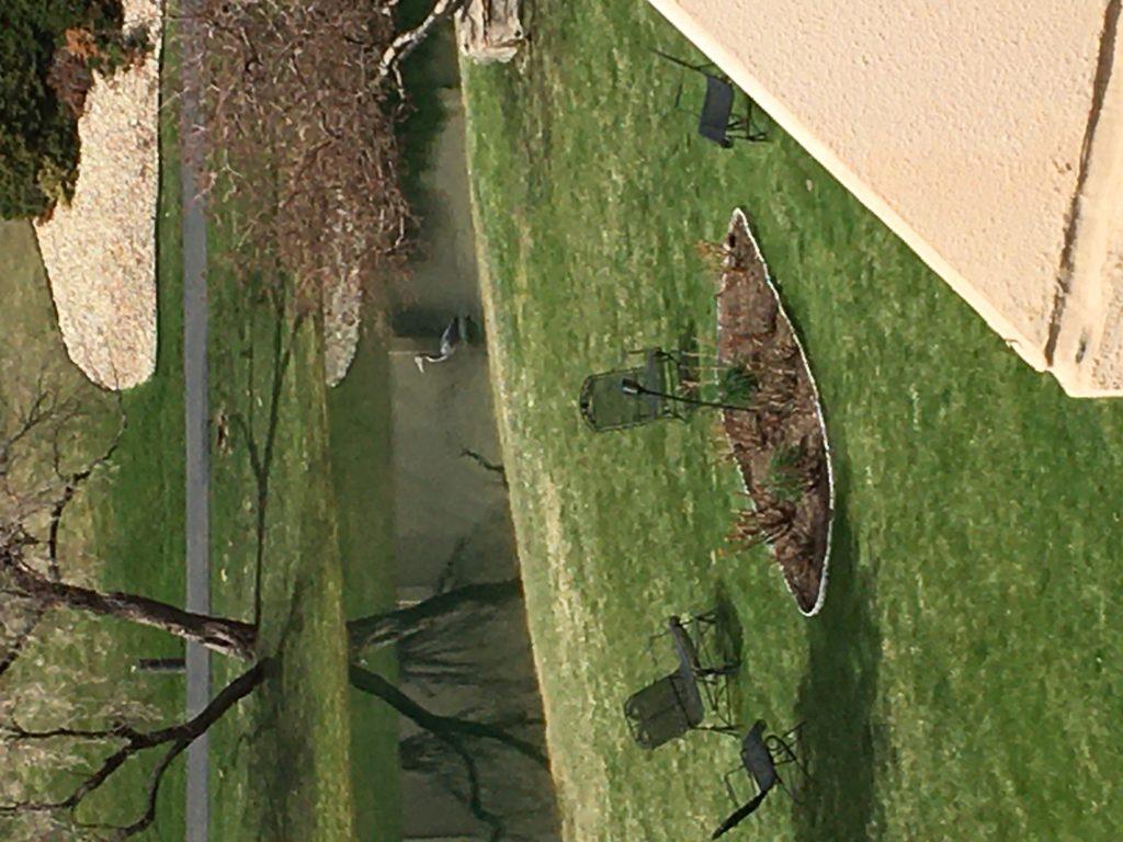 A Great Blue Heron at a south Denver condo complex. (Photo courtesy of Karen Lozow)