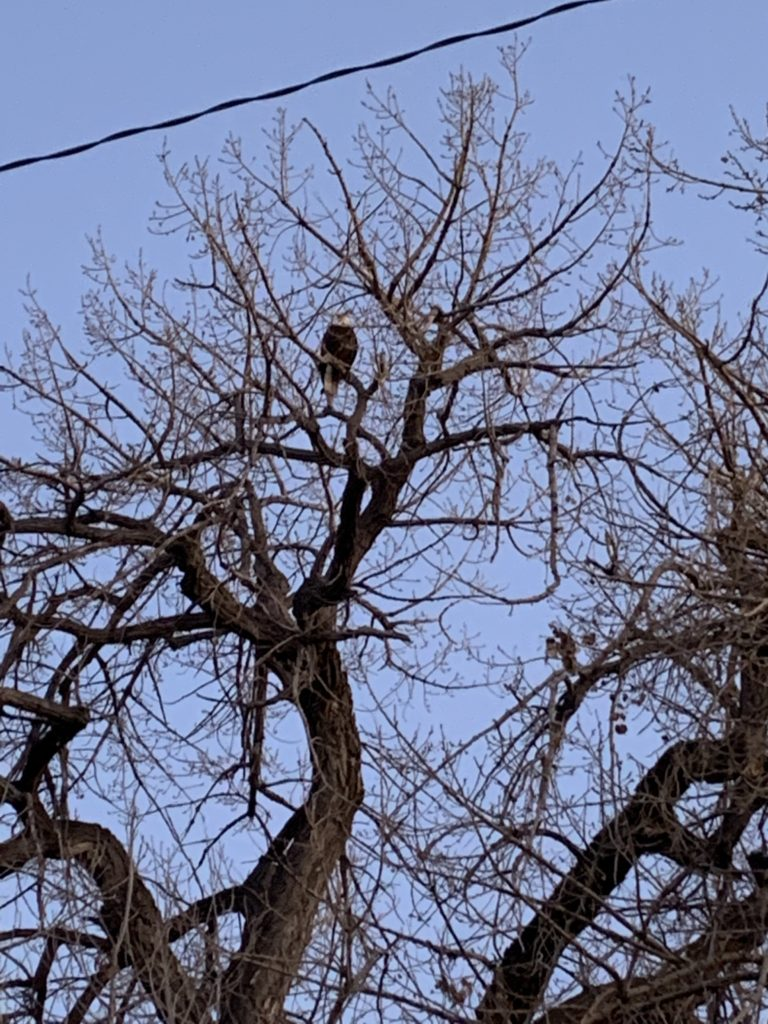 A bald eagle perched on a  cottonwood tree. (Courtesy of Amy Razzaque)