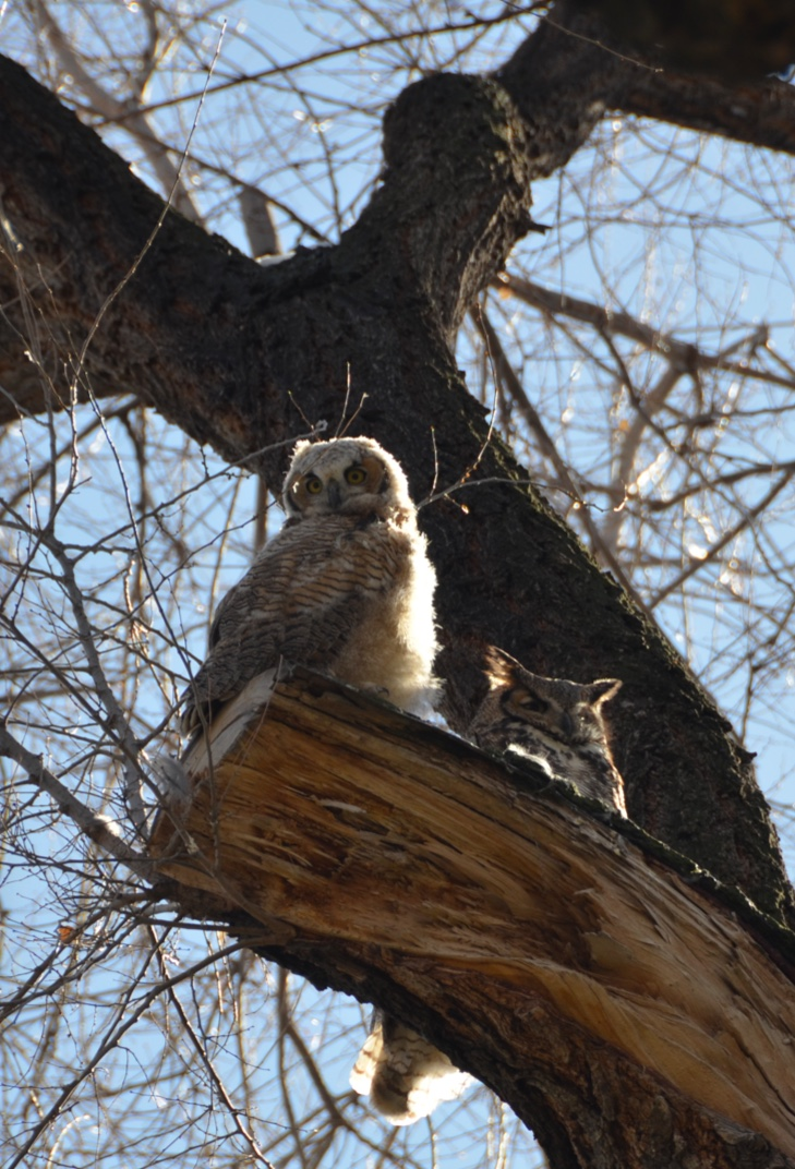 Owls spotted in Crestmoor Drive in east Denver. (Photo courtesy of Carolyn Miller)