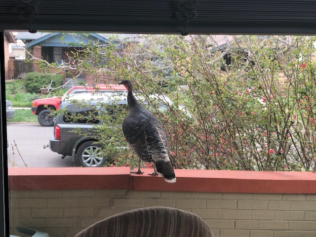 A wild turkey perched at a home in North Denver. (Courtesy of Kathryn White)