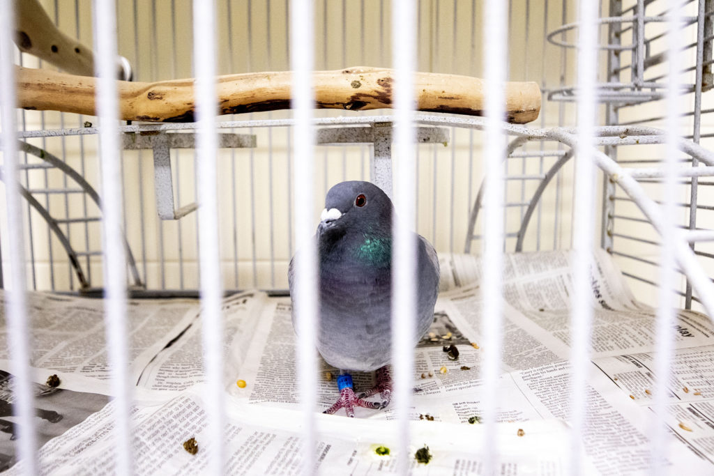 A pigeon named Berrie at the Denver Animal Shelter. July 10, 2020.