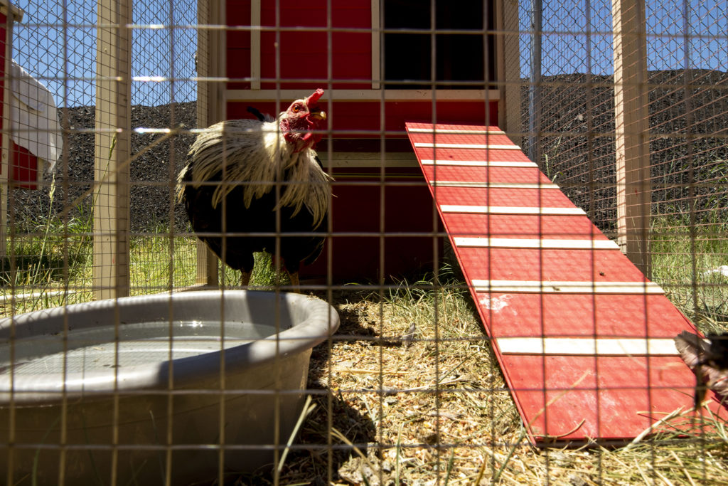 A rooster up for adoption at the Denver Animal Shelter. You can't adopt him if you live in Denver, however, without a permit. July 10, 2020.
