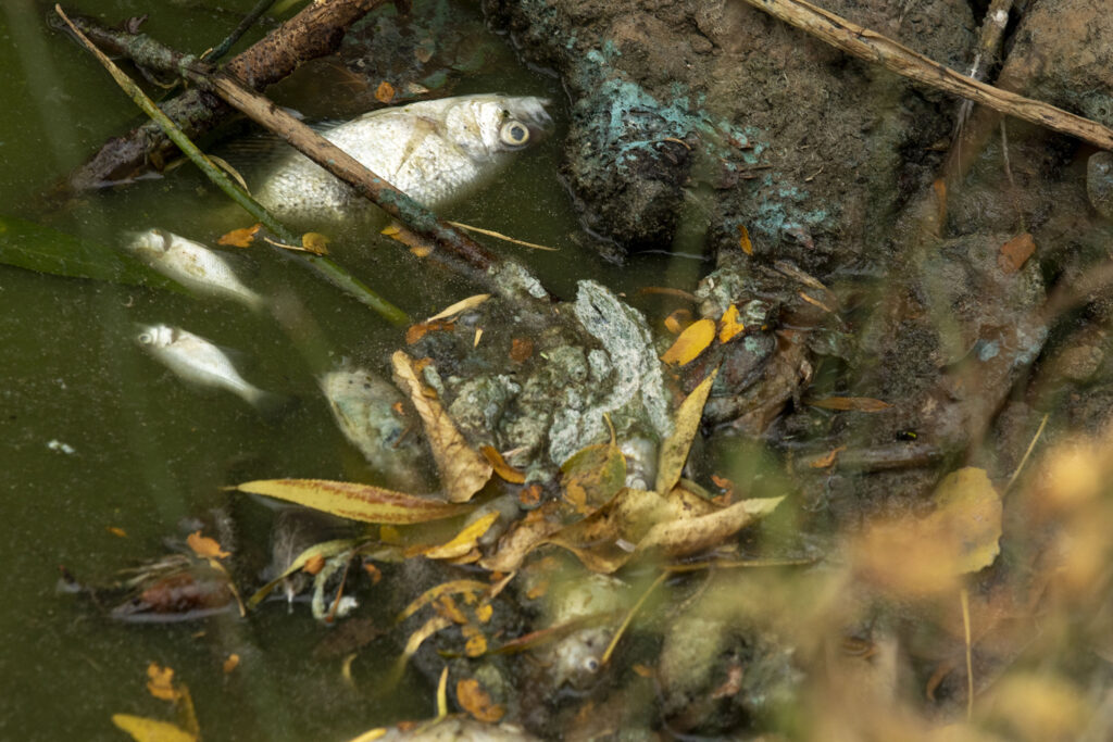 At least 400 fish died the week of Aug. 19, 2020 at Sloan's Lake. (Kevin J. Beaty/Denverite)