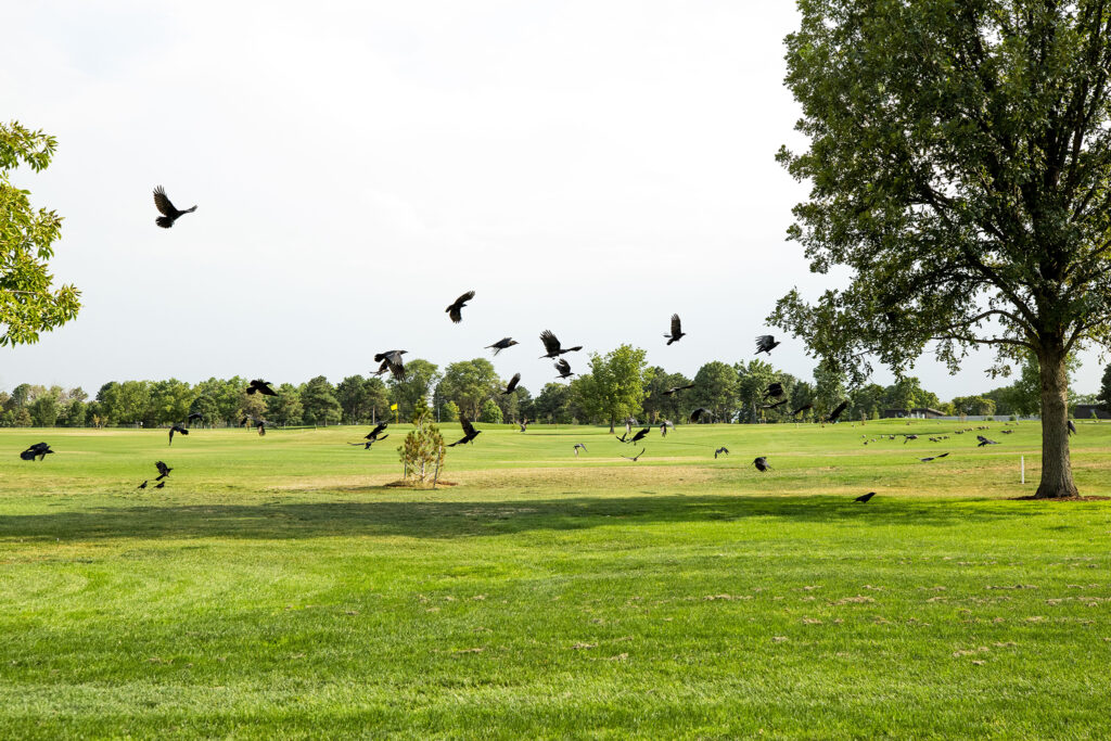 Crows also apparently enjoy the newly revamped City Park Golf Course. Aug. 20, 2020.