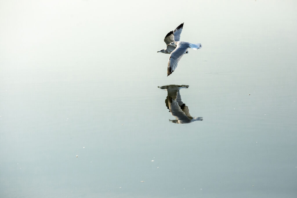 Gulls fly low over Sloan's Lake. Aug. 20, 2020.