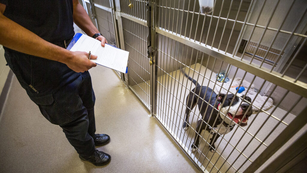 Denver Animal Protection Sgt. Avery Borden evaluates the breed of this yet-unnamed dog. Dec. 8, 2020.
