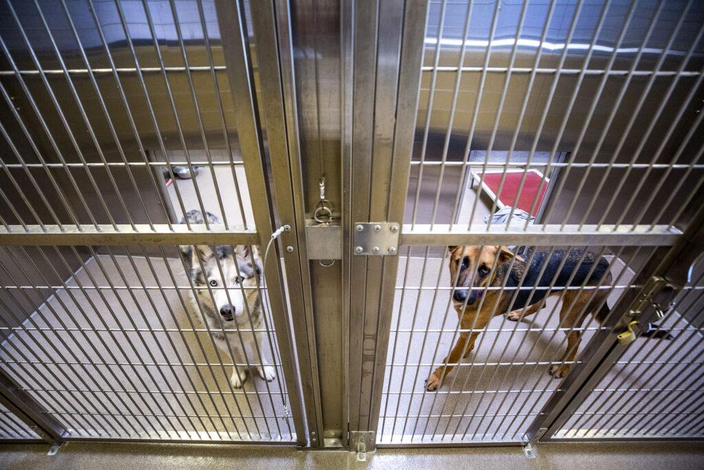 Dogs up for adoption at the Denver Animal Shelter. Dec. 8, 2020.
