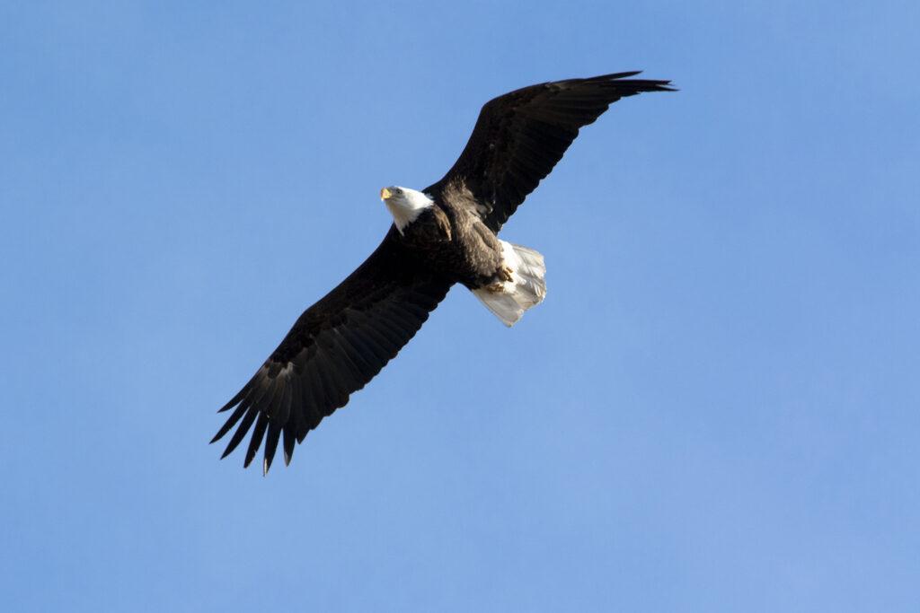 A bald eagle flies over the Rocky Mountain Arsenal. Jan. 14, 2020.