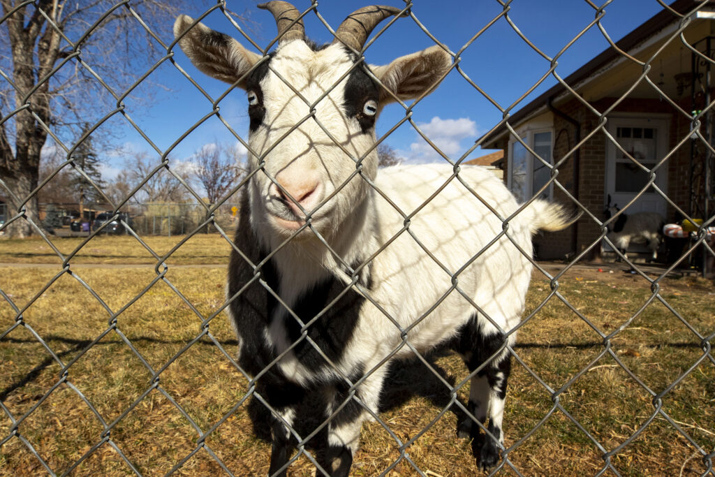 Molly the yard goat lives in South Park Hill and eats scraps from a local food pantry. She's been enjoying honeydew lately and is kind of bored of cabbage. Feb. 4, 2021.