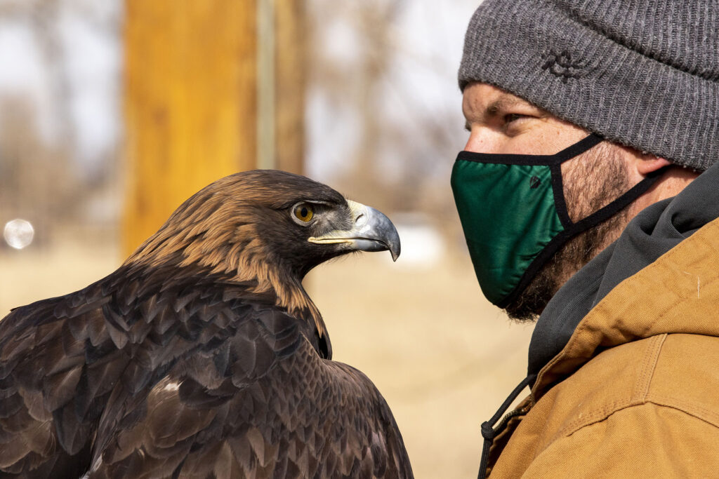 Josh Peters, of Nature's Educators, holds Gaia the golden eagle during a demonstration at Barr Lake State Park's 9th annual eagle festival. Feb. 6, 2021.