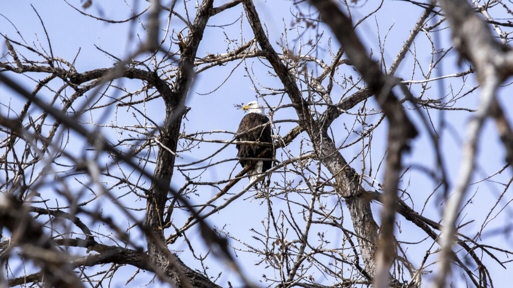 A bald eagle hangs out in a tree during Barr Lake State Park's 9th annual eagle festival. Feb. 6, 2021.