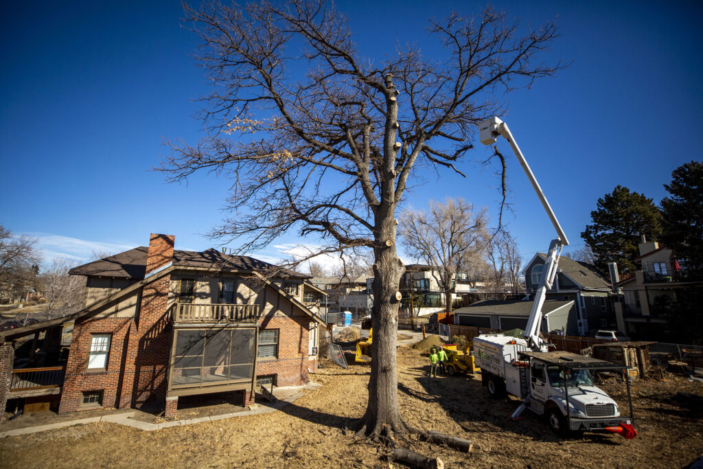 Workers begin to take down a giant English oak towering over Milwaukee Street in Cherry Creek. Feb. 23, 2021.