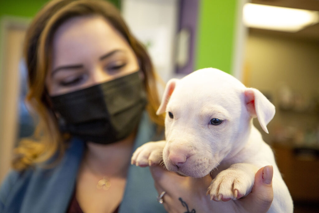 """Chelsea Chavez holds a small unnamed bulldog puppy in the Park Hill Vet space on the 2200 block of Oneida Street.  Its industry """"imploded"""" during the pandemic, she said, as demand skyrocketed as many clinics lost staff.  February 24, 2021."""