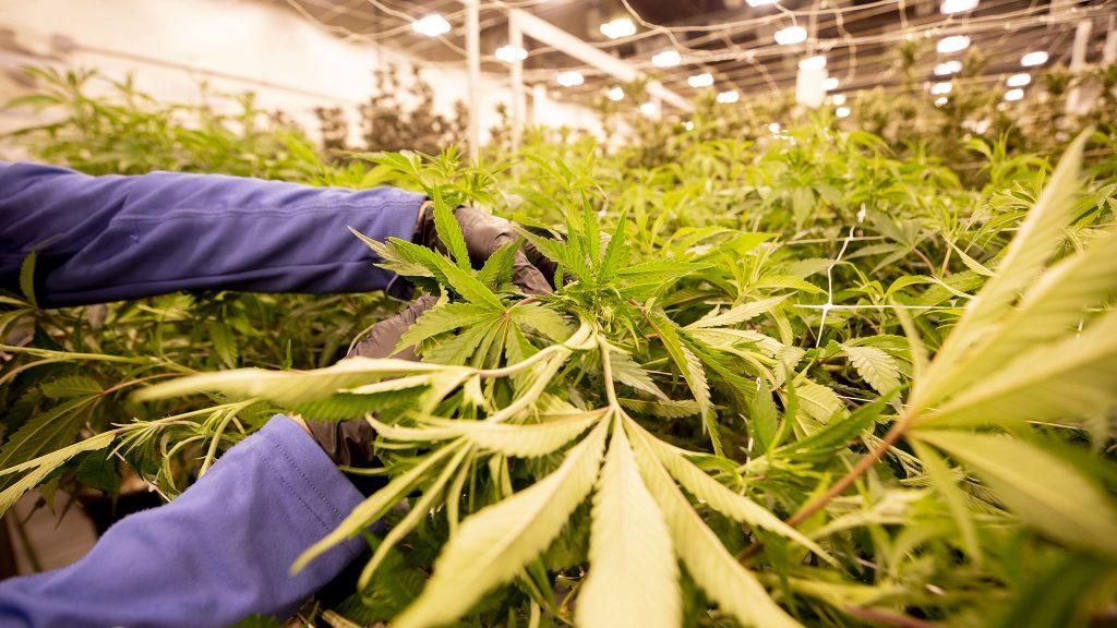 Marijuana grows in The Clinic's warehouse in Denver's Overland neighborhood. March 19, 2021.