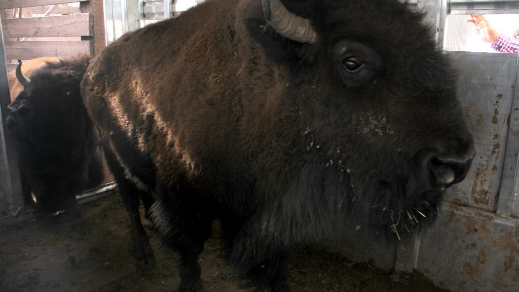Bison are loaded into a trailer in Golden. April 2, 2021.