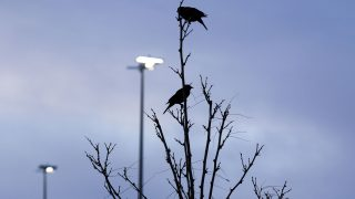 Redwing blackbirds perch at Globeville Landing Park at dawn. April 23, 2021.