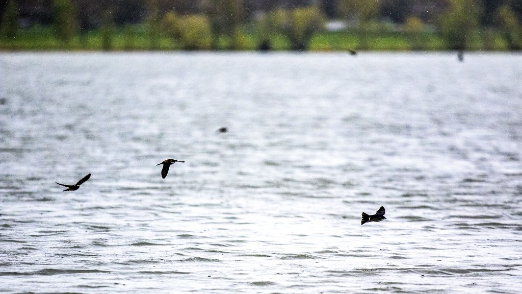 Birds flutter over Sloan's Lake on a dreary day in Denver. May 11, 2021.