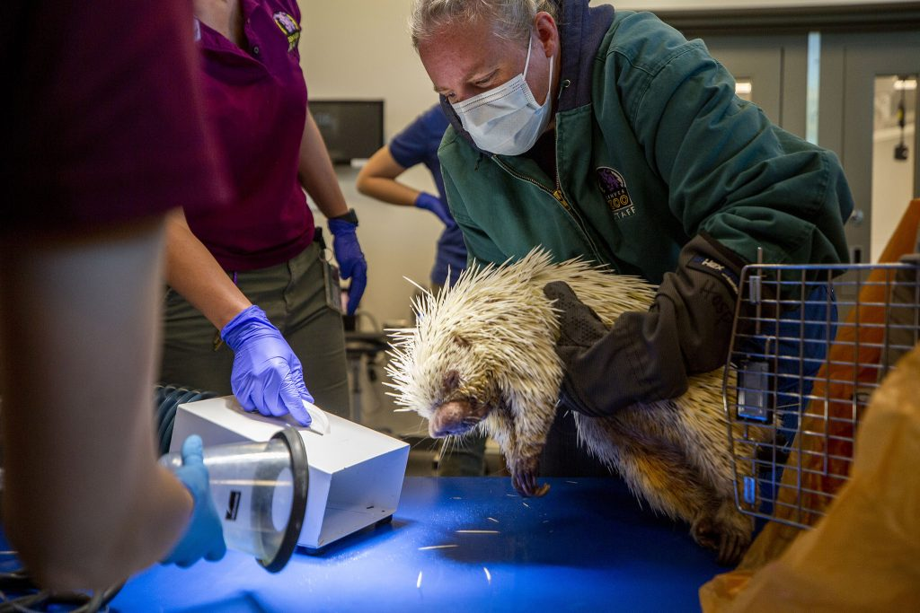 Stephanie, a vet tech, lifts Koko, the prehensile-tailed porcupine, onto an exam table in the Denver Zoo's new animal hospital. June 12, 2021.