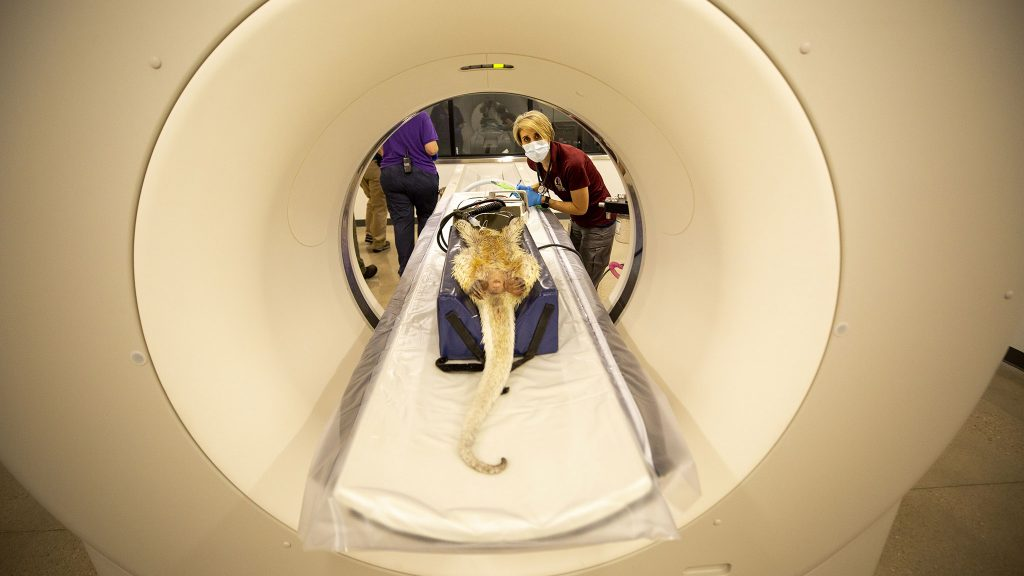 Denver Zoo vet staff prepare to run a CT scan on Koko the prehensile-tailed porcupine. June 12, 2021.
