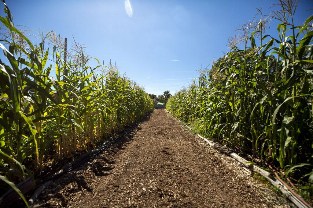Corn on the stalk at Re:Vision's farm off Morrison Road. Westwood, Sept. 21, 2021.